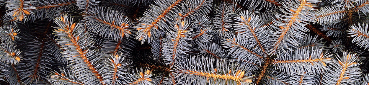 Close up of pine tree branches