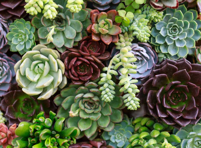 Bed of green succulents